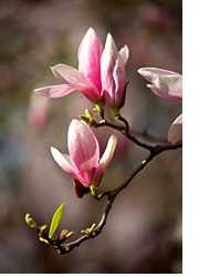 Magnolia Blossoms in Charleston, South Carolina